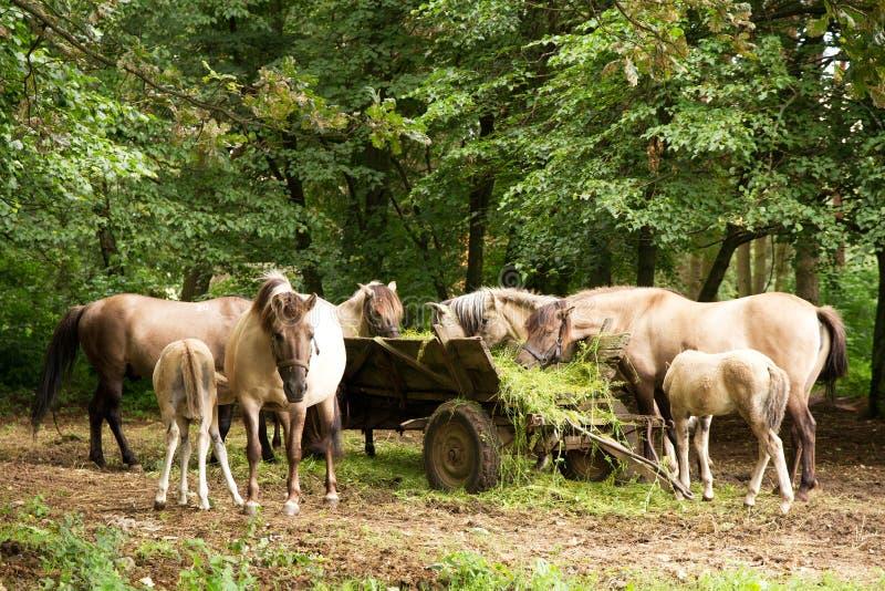 Κοπάδι των αλόγων στο κάρρο στοκ εικόνες
