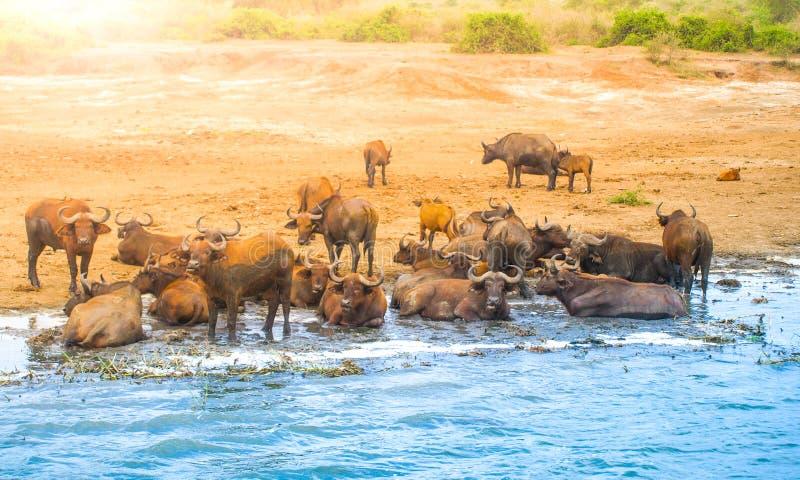 Κοπάδι των αφρικανικών βούβαλων στον ποταμό, περιοχή συντήρησης Ngorongoro, Τανζανία, Αφρική στοκ φωτογραφία
