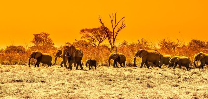 Κοπάδι των αφρικανικών ελεφάντων στο waterhole Εθνικό πάρκο Chobe, περιοχή Okavango, της Μποτσουάνα, Αφρική εικόνα πανοραμική στοκ εικόνα με δικαίωμα ελεύθερης χρήσης