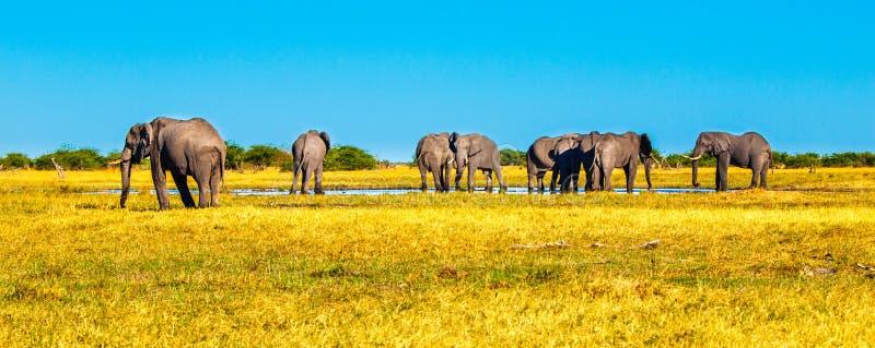 Κοπάδι των αφρικανικών ελεφάντων στο waterhole Εθνικό πάρκο Chobe, περιοχή Okavango, της Μποτσουάνα, Αφρική Εικόνα πανοράματος στοκ φωτογραφία με δικαίωμα ελεύθερης χρήσης