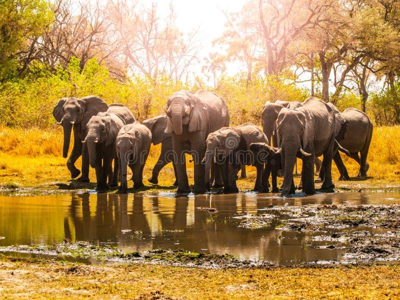Κοπάδι των αφρικανικών ελεφάντων στο waterhole Εθνικό πάρκο Chobe, περιοχή Okavango, της Μποτσουάνα, Αφρική στοκ φωτογραφίες