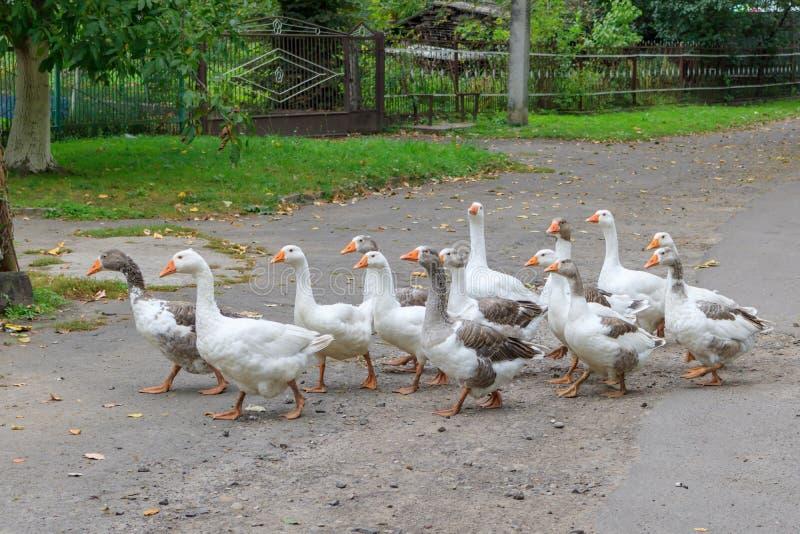 Κοπάδι των εσωτερικών χήνων που περπατούν κατά μήκος του του χωριού δρόμου στη νεφελώδη ημέρα φθινοπώρου στοκ εικόνες