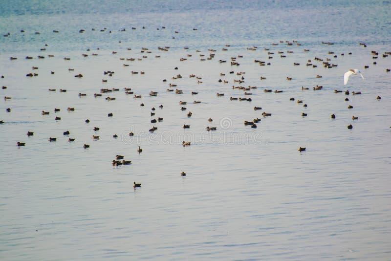 Κοπάδι των μεταναστευτικών παπιών πουλιών υγρότοπου σε μια λίμνη στοκ εικόνες