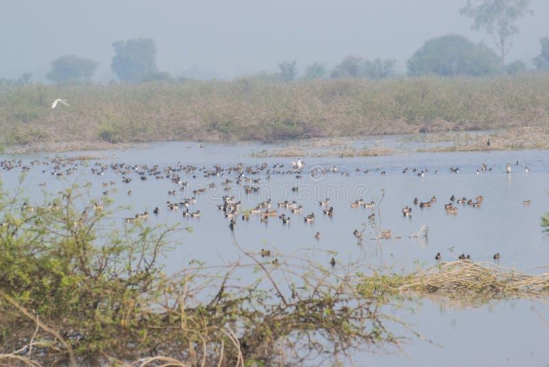 Κοπάδι των μεταναστευτικών πτηνών νερού στη λίμνη στοκ φωτογραφίες με δικαίωμα ελεύθερης χρήσης