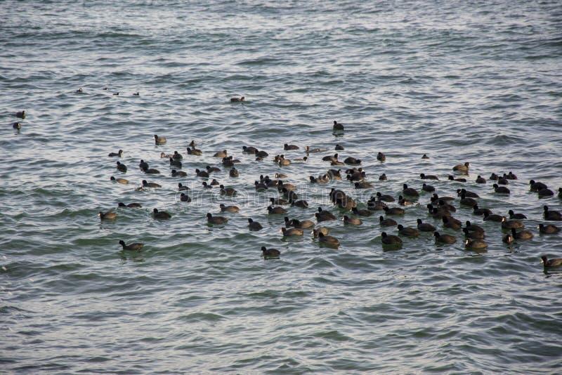 Κοπάδι των πουλιών, μαύρες πάπιες, seagulls που κολυμπούν στη θάλασσα, μπλε νερό, seascape στοκ φωτογραφία