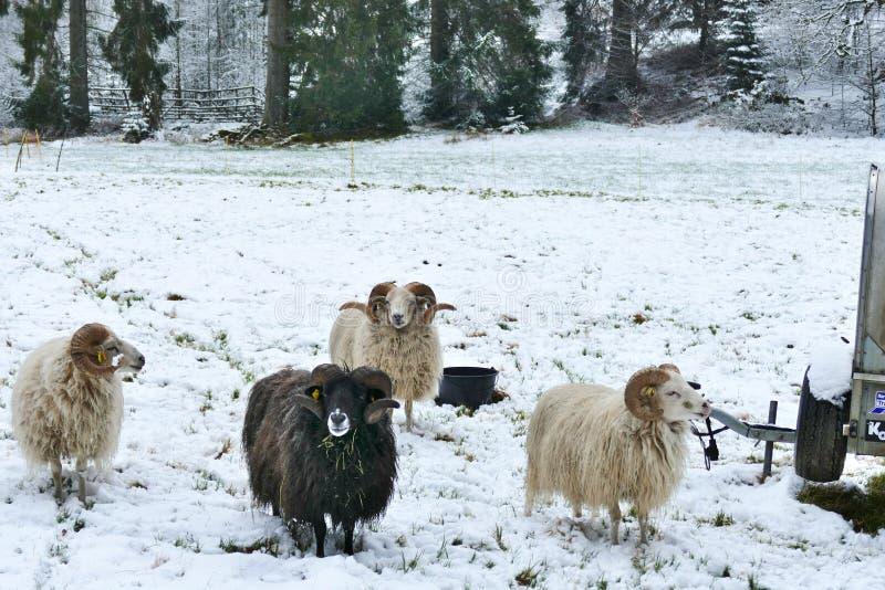 Κοπάδι των προβάτων στη χιονώδη επίγεια πλησιάζοντας κάμερα στοκ εικόνες με δικαίωμα ελεύθερης χρήσης