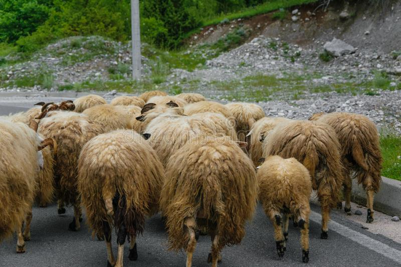 Κοπάδι των προβάτων στο δρόμο στοκ φωτογραφία