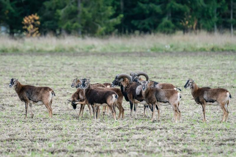 Κοπάδι των προβάτων mouflon που στέκονται σε έναν τομέα στοκ εικόνες