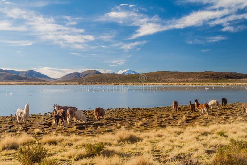 Κοπάδι των προβατοκαμήλων λάμα που βόσκουν από μια λίμνη σε βολιβιανό Altipla στοκ φωτογραφία