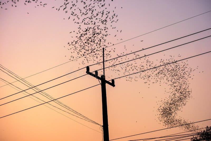 Κοπάδι των ροπάλων που πετούν την καμπύλη πέρα από τον ηλεκτρικό πόλο στο σούρουπο στοκ φωτογραφίες