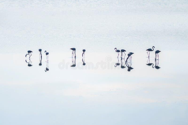 Κοπάδι των ρόδινων φλαμίγκο στις αλατισμένες λίμνες της Λάρνακας στο ηλιοβασίλεμα Κύπρος στοκ φωτογραφία με δικαίωμα ελεύθερης χρήσης