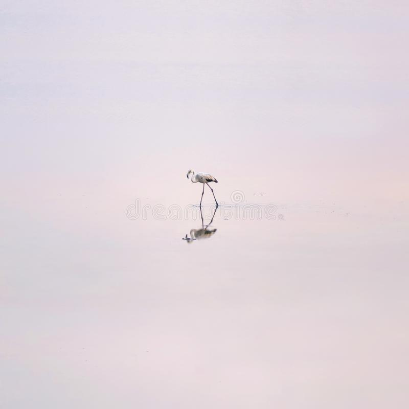 Κοπάδι των ρόδινων φλαμίγκο στις αλατισμένες λίμνες της Λάρνακας στο ηλιοβασίλεμα Κύπρος στοκ φωτογραφία
