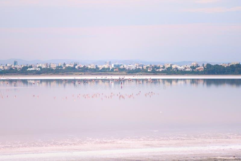 Κοπάδι των ρόδινων φλαμίγκο στις αλατισμένες λίμνες της Λάρνακας στο ηλιοβασίλεμα Κύπρος στοκ εικόνες