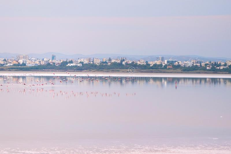 Κοπάδι των ρόδινων φλαμίγκο στις αλατισμένες λίμνες της Λάρνακας στο ηλιοβασίλεμα Κύπρος στοκ εικόνες με δικαίωμα ελεύθερης χρήσης