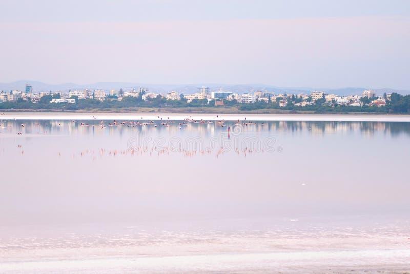 Κοπάδι των ρόδινων φλαμίγκο στις αλατισμένες λίμνες της Λάρνακας στο ηλιοβασίλεμα Κύπρος στοκ εικόνα με δικαίωμα ελεύθερης χρήσης