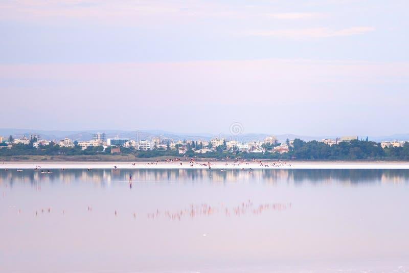 Κοπάδι των ρόδινων φλαμίγκο στις αλατισμένες λίμνες της Λάρνακας στο ηλιοβασίλεμα Κύπρος στοκ φωτογραφίες με δικαίωμα ελεύθερης χρήσης