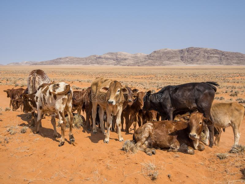 Κοπάδι των calfs που στέκονται και που βάζουν μπροστά από τα βουνά και την άμμο, Damaraland, Ναμίμπια, Νότιος Αφρική στοκ φωτογραφία με δικαίωμα ελεύθερης χρήσης