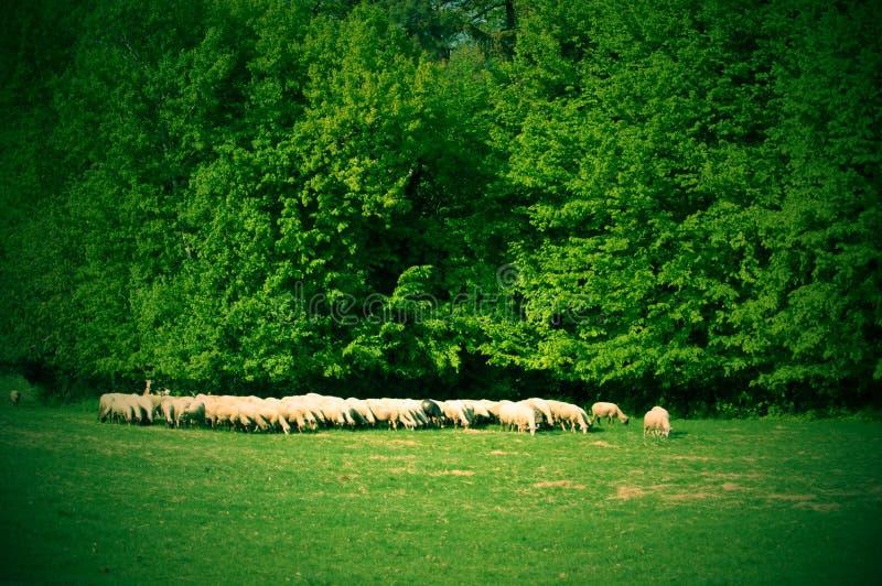 Κοπάδι των sheeps κοντά στο δάσος στοκ φωτογραφία με δικαίωμα ελεύθερης χρήσης