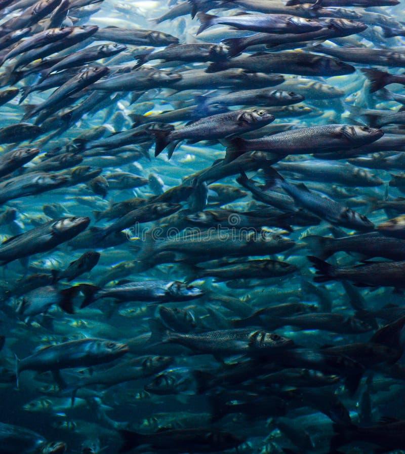 κοπάδι ψαριών