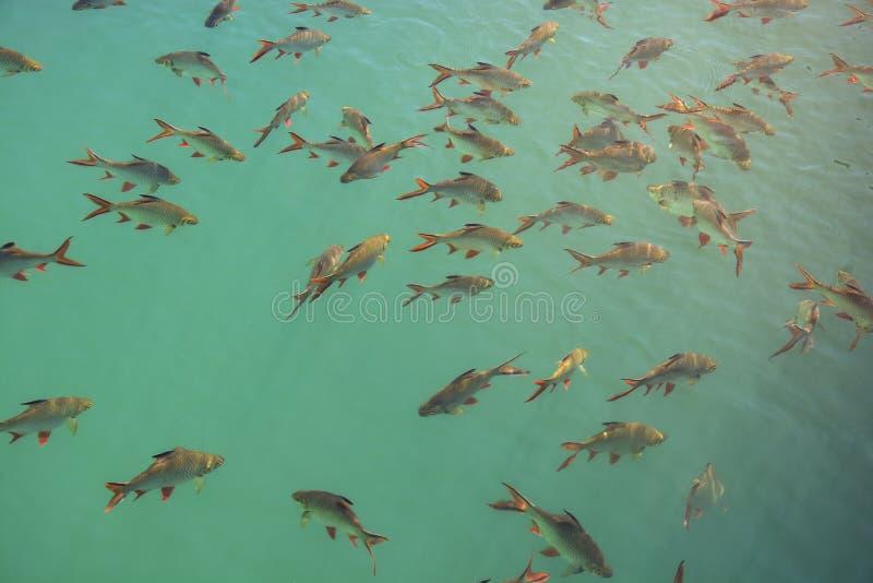 Κοπάδι Barb Schwanenfeld ` s Tinfoil των ψαριών σε ένα φράγμα, Ταϊλάνδη στοκ εικόνα