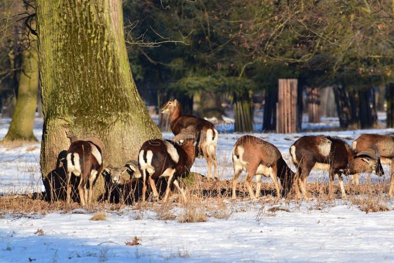 Κοπάδι Eaiting Mouflon το χειμώνα στοκ εικόνες με δικαίωμα ελεύθερης χρήσης