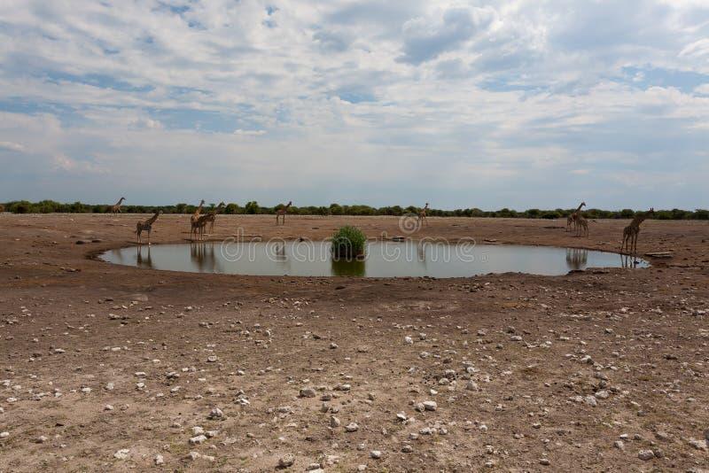 Κοπάδι giraffes στοκ φωτογραφίες με δικαίωμα ελεύθερης χρήσης