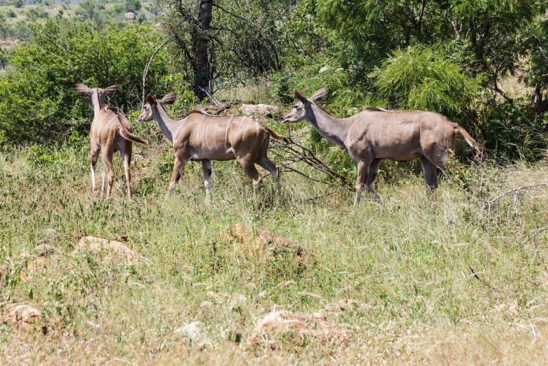 Κοπάδι Kudu που κινείται εμπρός στοκ φωτογραφίες