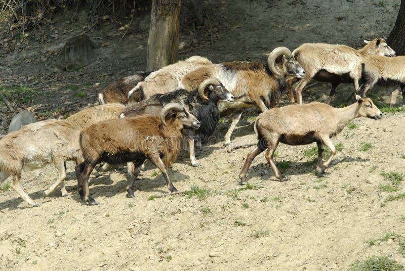 κοπάδι mouflon στοκ εικόνα με δικαίωμα ελεύθερης χρήσης