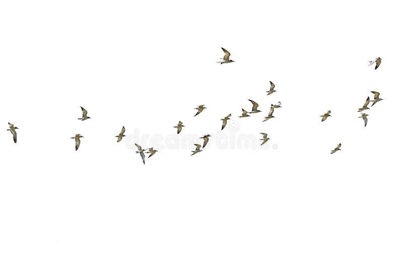 Κοπάδι seagulls που απομονώνονται στο άσπρο υπόβαθρο στοκ εικόνες