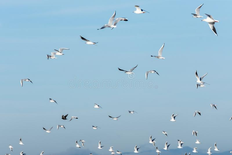 Κοπάδι seagulls που πετούν σε έναν σαφή μπλε ουρανό Φυσική ανασκόπηση στοκ εικόνες