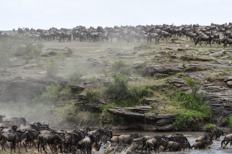 Κοπάδι Wildebeest που μεταναστεύει πέρα από τον ποταμό στοκ φωτογραφίες