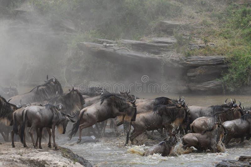 Κοπάδι Wildebeest που μεταναστεύει πέρα από τον ποταμό στο φόβο στοκ εικόνα