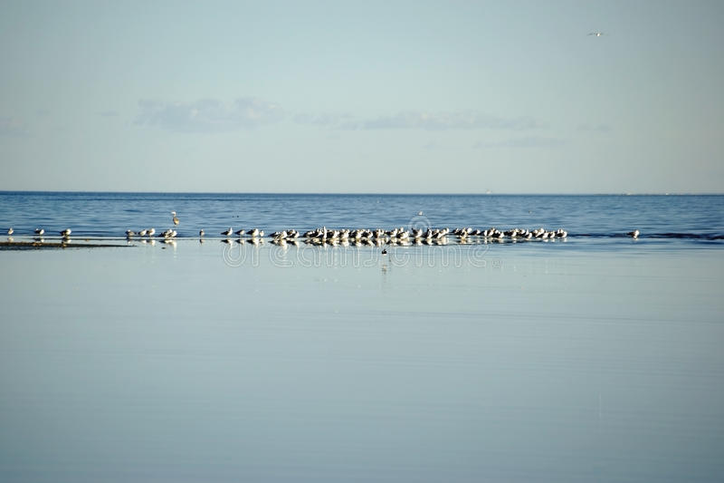Κοπάδια των πουλιών στη θάλασσα Salton στοκ εικόνα με δικαίωμα ελεύθερης χρήσης