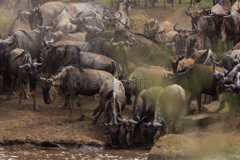 Κοπάδια των herbivores στις όχθεις του ποταμού της Mara στοκ φωτογραφία