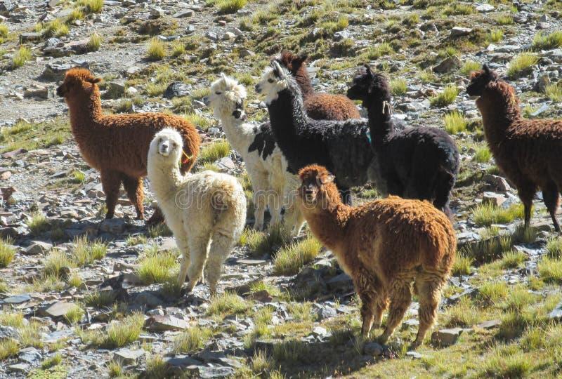 Κοπάδι λάμα στο altiplano στοκ εικόνα με δικαίωμα ελεύθερης χρήσης
