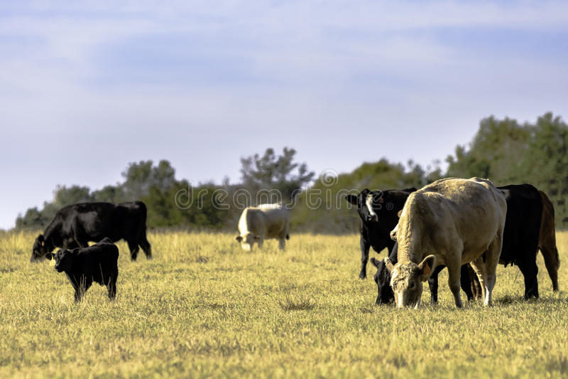 Κοπάδι αγελάδων βόειου κρέατος στο κοιμισμένο λιβάδι στοκ φωτογραφίες με δικαίωμα ελεύθερης χρήσης