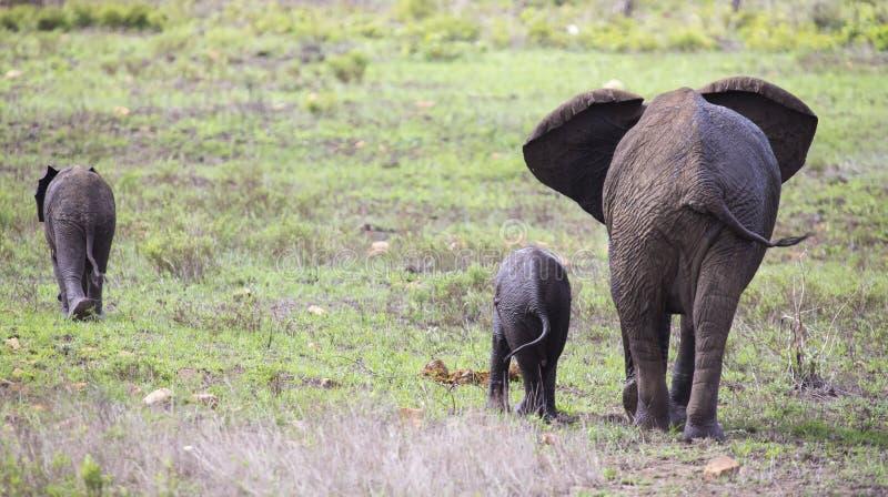 Κοπάδι αναπαραγωγής του ελέφαντα που περπατά και που τρώει στην κοντή χλόη στοκ φωτογραφίες