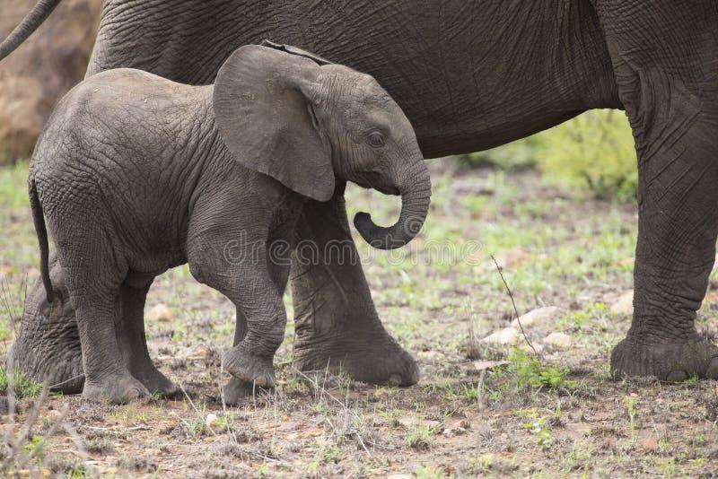 Κοπάδι αναπαραγωγής του ελέφαντα που περπατά και που τρώει στην κοντή χλόη στοκ εικόνα