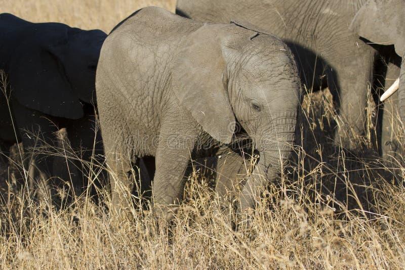 Κοπάδι αναπαραγωγής του φαγητού περπατήματος ελεφάντων στη μακριά καφετιά χλόη στοκ εικόνες