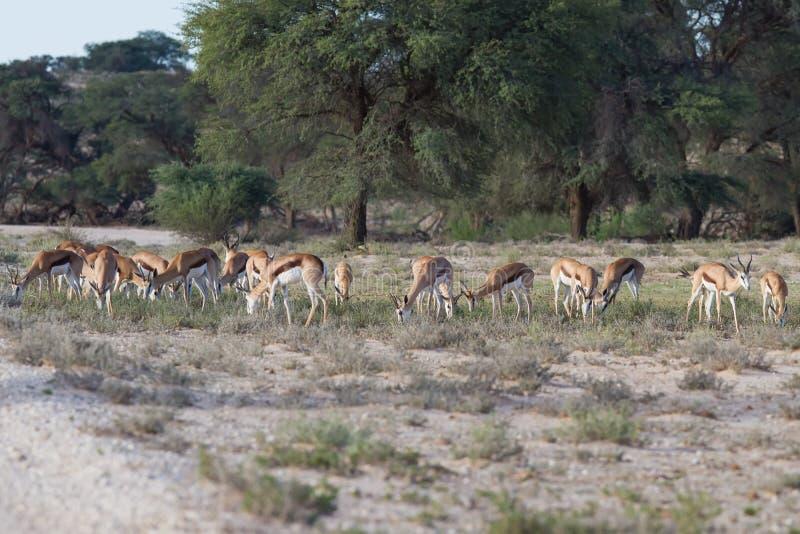 Κοπάδι της βοσκής αντιδορκάδων στην έρημο της Καλαχάρης στοκ εικόνα με δικαίωμα ελεύθερης χρήσης