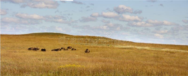 Κοπάδι της βοσκής Buffalo στην κονσέρβα λιβαδιών του Κάνσας Tallgrass στοκ φωτογραφίες