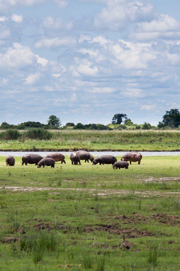 Κοπάδι της βοσκής Hippopotamus κοντά στον ποταμό Chobe, Μποτσουάνα στοκ φωτογραφία με δικαίωμα ελεύθερης χρήσης