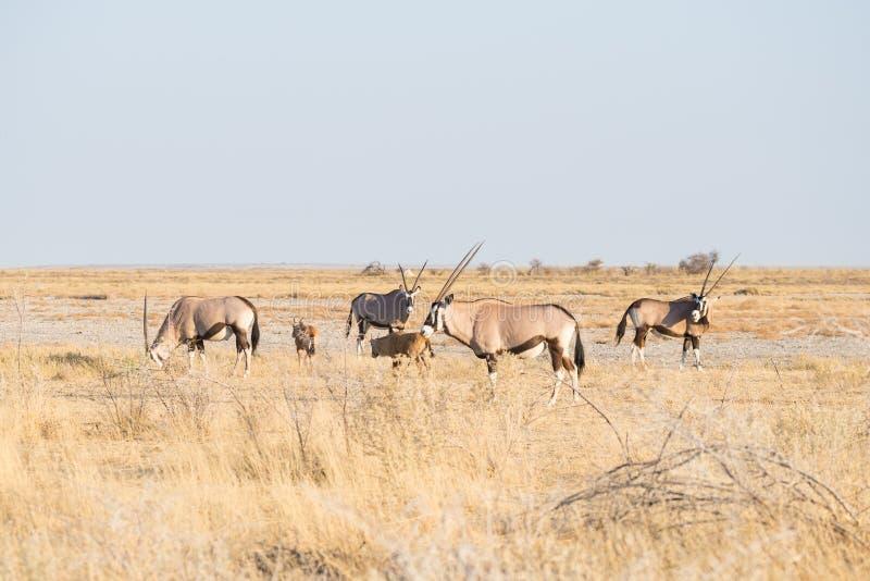 Κοπάδι της βοσκής Oryx στο θάμνο στοκ φωτογραφία