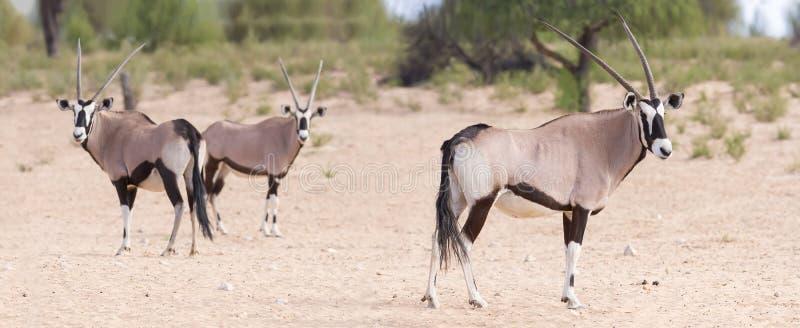 Κοπάδι του oryx που στέκεται σε ένα ξηρό σαφές κοίταγμα στοκ εικόνα με δικαίωμα ελεύθερης χρήσης