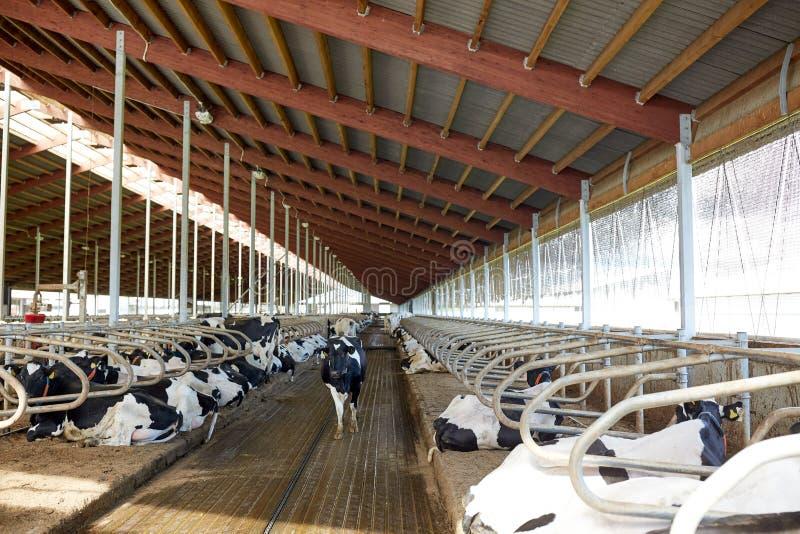 Κοπάδι των αγελάδων στο σταύλο σταύλων στο γαλακτοκομικό αγρόκτημα στοκ εικόνα