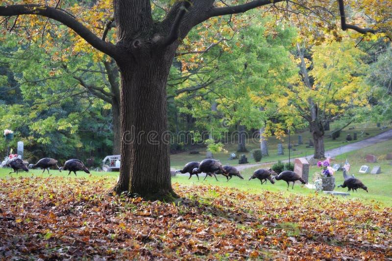 Κοπάδι των γαλοπουλών που περπατούν μέσω του νεκροταφείου στοκ εικόνα