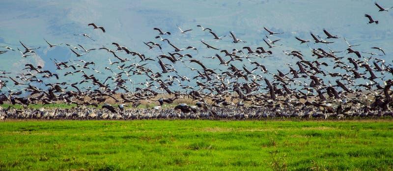 Κοπάδι των γερανών στοκ φωτογραφίες