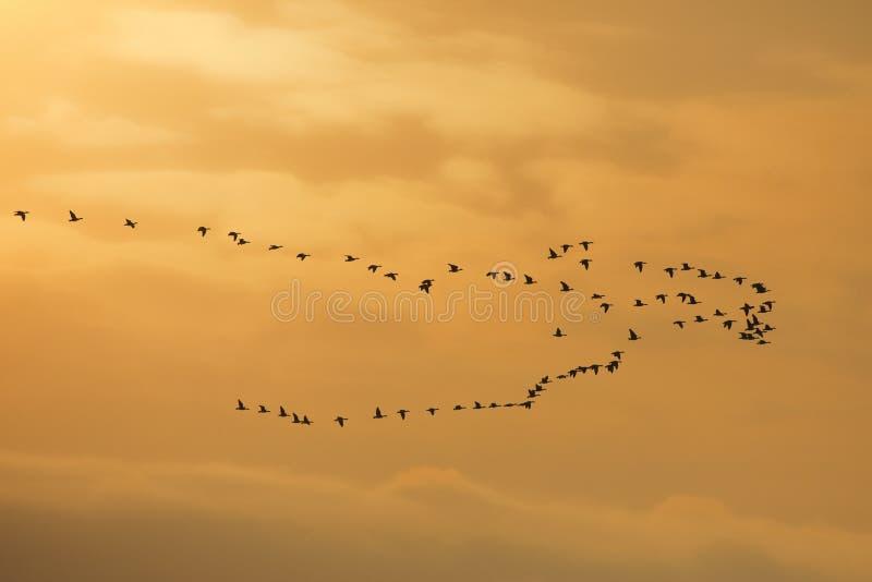 Κοπάδι των λευκομέτωπων χήνων στοκ εικόνα