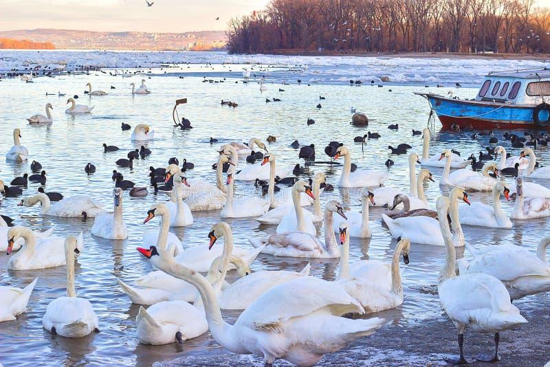 Κοπάδι των κύκνων σε παγωμένο Δούναβη στοκ φωτογραφία
