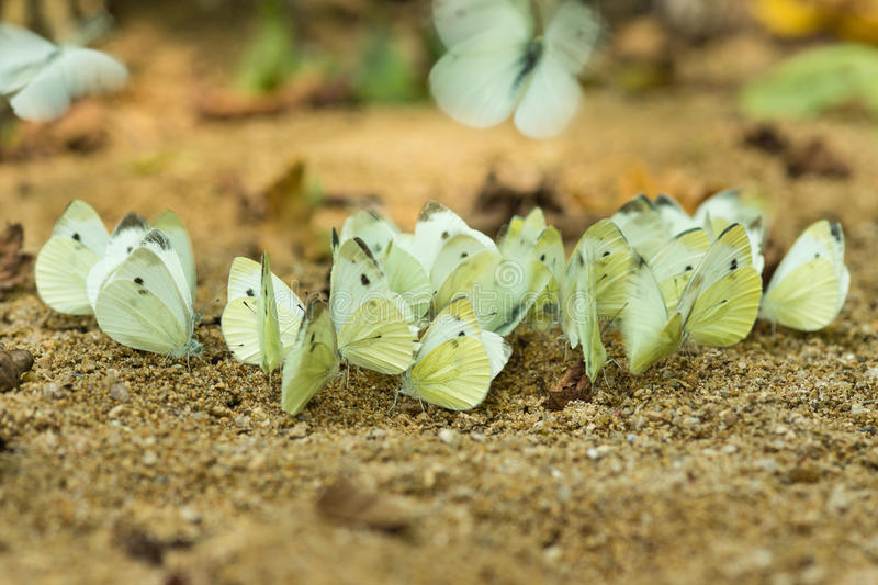 Κοπάδι των πεταλούδων - λατινικά λευκού λάχανων ή λευκού λάχανων Brassicae Pieris στις όχθεις του ποταμού Kisina στοκ εικόνες